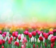 Tulips background Stock Photos