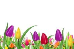 Tulips background Stock Image