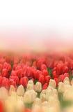 Tulips background Royalty Free Stock Image