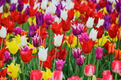 Tulips background Royalty Free Stock Images