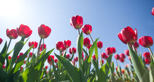 Tulips on a background of blue sky Stock Photos
