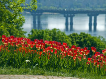 Tulips on the background of the river Stock Image