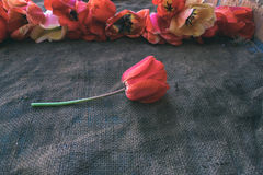 Tulips in the background of sacking. Tulips in the background of sacking Royalty Free Stock Image