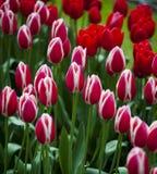 Tulips background, spring Stock Photos