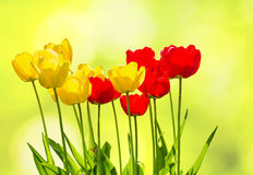 Tulips backlit on a blurred spring background Stock Photos