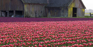 Tulip Field Barn Skagit Farm Flower Horizontal Royalty Free Stock Photography