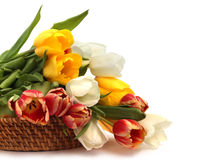 Tulips in basket. Colorful tulip bouquet in basket isolated on white Royalty Free Stock Image