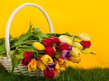Tulips in basket colors background. green gras yellow flowers Royalty Free Stock Photography