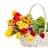 Tulips in basket isolated on white background. colors flowers Stock Photos