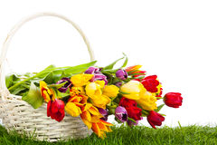 Tulips in basket isolated on white background. colors, green gra Stock Images