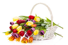 Tulips in basket isolated on white background. colors, spring flowers Stock Photography