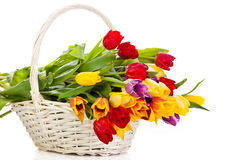 Tulips in basket isolated on white background. spring season flowers Stock Photo