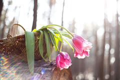 Tulips in basket the sunlight Stock Photography