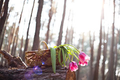 Tulips in basket the sunlight Royalty Free Stock Photography