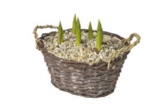Tulips in basket on white Stock Photo