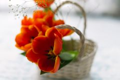 Tulips in a basket on a white wooden background Stock Photo