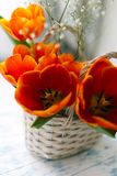 Tulips in a basket on a white wooden background royalty free stock images