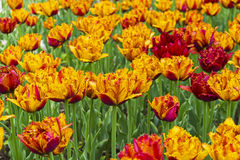 Tulips of the Bastia species. Tulips of the Bastia species on a flowerbed Stock Photo