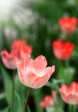 Tulips beautiful Stock Photography