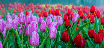 Tulips. Beautiful bouquet of tulips with dewdrop and spider web Royalty Free Stock Image