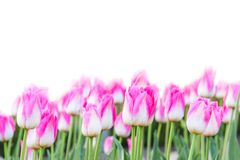 Tulips Stock Image