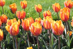 Tulips. Beautiful tulips flowerbed in Central Park stock images