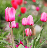 Tulips. Beautiful fuchsia flowers in park. Stock Photo
