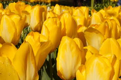 Tulips. Beautiful garden of tulips in a sunny day Royalty Free Stock Photo