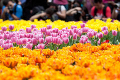 Tulips. Beautiful Tulips, Hong Kong Flower Show 2015 Stock Photography