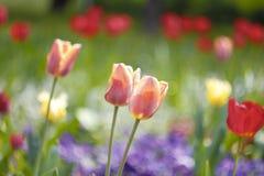 Tulips. Beautiful tulips in my backyard Royalty Free Stock Photos