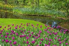 Tulips. Beautiful purple Dutch tulips at Keukenhof garden in the netherlands stock photo