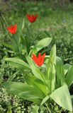 Tulips. Beautiful red tulips in a garden Stock Image