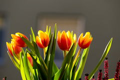 Tulips. Beautiful spring tulips in the early rays of the sun Royalty Free Stock Images