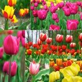 Tulips - beautiful spring flowers Stock Photos