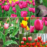 Tulips - beautiful spring flowers Royalty Free Stock Photo