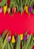 Tulips Stock Image