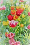 Tulips. Beautiful tulips in a spring morning Stock Image