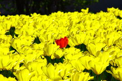 Tulips. Beautiful spring red yellow tulips Royalty Free Stock Image