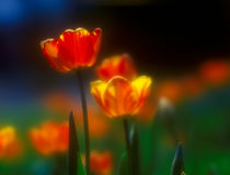Tulips. Stock Photo