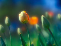 Tulips. Royalty Free Stock Photo