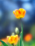 Tulips. Beautiful spring tulips taken with soft focus lens Royalty Free Stock Image