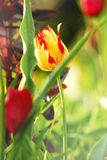 Tulips. Beautiful still life with tulips Stock Images