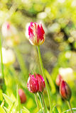Tulips. Beautiful still life with tulips Royalty Free Stock Images