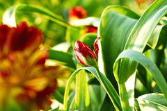 Tulips. Beautiful still life with tulips Royalty Free Stock Photography