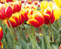 Tulips. Beautiful Tulips at the Tesselar Tulip festival close to Melbourne in Australia Royalty Free Stock Photos