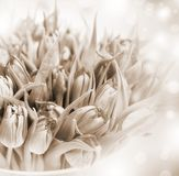 Tulips. Beautiful tulip flower. Sepia background Stock Photos
