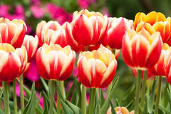 Tulips. Beautiful Tulip, Hong Kong Flower Show 2015 Royalty Free Stock Images