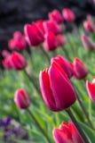 Tulips beauty Royalty Free Stock Photo