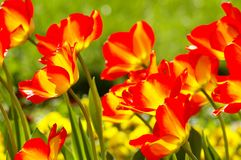 Tulips in bed Stock Image