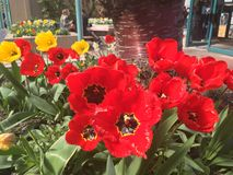 Tulips in beds. Close up of red and yellow tulips in garden beds Royalty Free Stock Photos